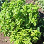 How to harvest fresh basil