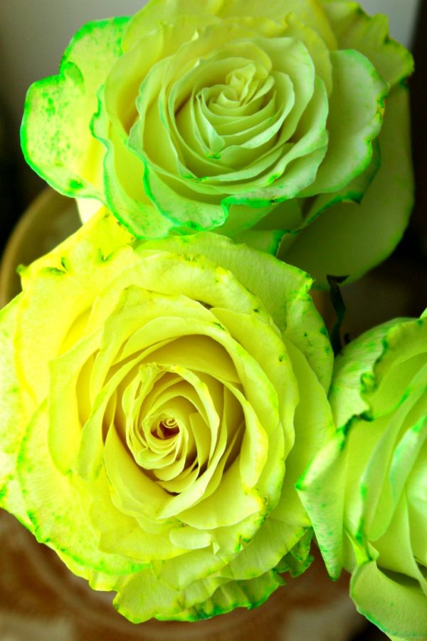 How to Dye Roses