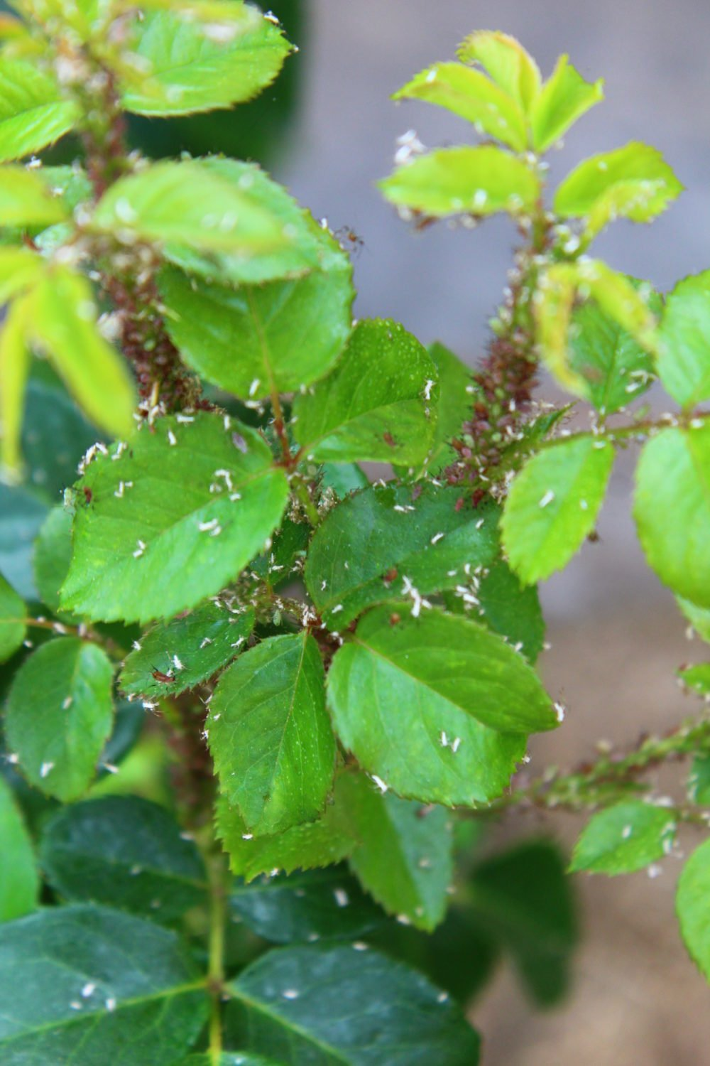 gettign rid of aphids
