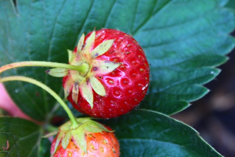 How to care for strawberry bushes