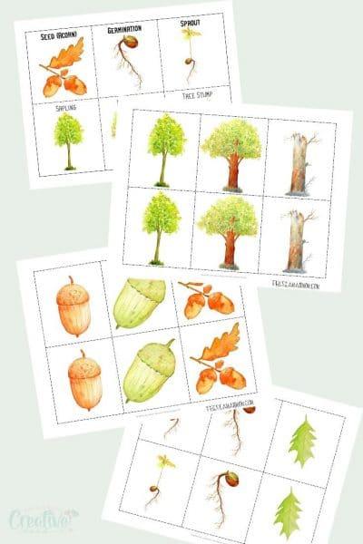 Oak tree growth